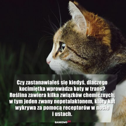 Czy zastanawiałeś się kiedyś, dlaczego kocimiętka wprowadza koty w trans? Roślina zawiera kilka związków chemicznych, w tym jeden zwany nepetalaktonem, który kot wykrywa za pomocą receptorów w nosie i ustach. Związki wywołują typowe dziwne zachowania, które kojarzą się ze zwariowanym kocim chwastem, w tym wąchanie, potrząsanie głową, pocieranie głową i tarzanie się po ziemi.