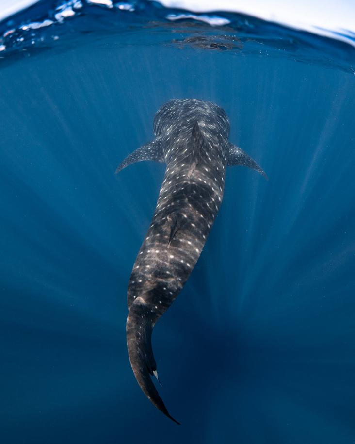 Rekin wielorybi 📸 fot. Naomi Rose