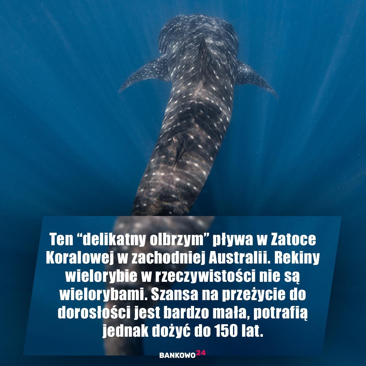 """Ten """"delikatny olbrzym"""" pływa w Zatoce Koralowej w zachodniej Australii. Rekiny wielorybie w rzeczywistości nie są wielorybami. Szansa na przeżycie do dorosłości jest bardzo mała, potrafią jednak dożyć do 150 lat."""